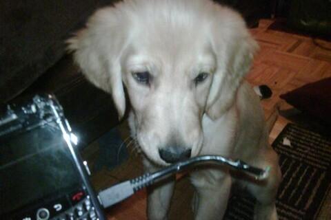 Even Puppies Love BlackBerry